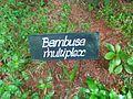 Bambusa multiplex board.JPG