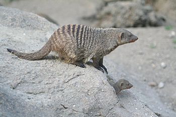 Banded Mongoose at Copenhagen Zoo.jpg