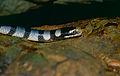 Banded Sea Krait (Laticauda colubrina) (14637941961).jpg