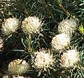 Banksia carlinoides.jpg