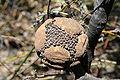 Banksia violacea 14 orig.JPG