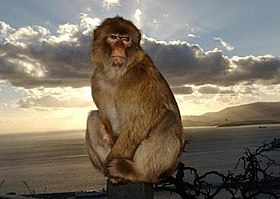 Barbary Macaque sunset.jpg
