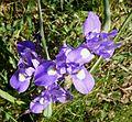 Barbary Nut. Gynandriris sisyrinchium - Flickr - gailhampshire (1).jpg