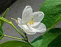 Bauhinia acuminata 18072014 (1).jpg