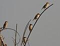 Baya Weaver (Ploceus philippinus) W IMG 4895.jpg