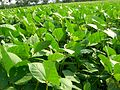 Bean Field Bangladesh.JPG