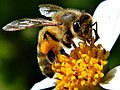 Beatrice the Honey Bee (7836716730) - Cropped.jpg