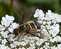 Bee Fly. Villa cingulata Bombyliidae - Flickr - gailhampshire.jpg