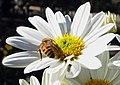 Bee on Daisy, Greemspot Farms 10-13 (16891587160).jpg