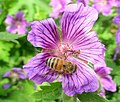 Bee on geranium (17150578339).jpg