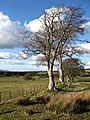 Beech trees at a field boundary - geograph.org.uk - 750514.jpg