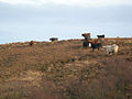 Beef Cattle near Coullabus - geograph.org.uk - 350765.jpg