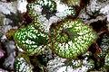 Begonia (10).jpg