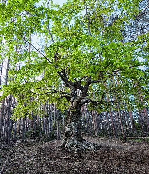 Belintash tree