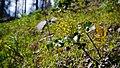 Berberis aquifolium.jpg