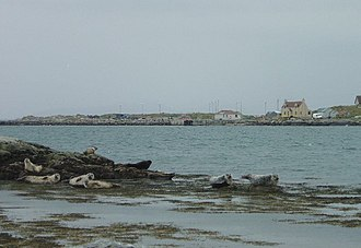 Berneray (North Uist) - Grey seals, from the seal view point in Bay's Loch