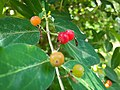 Berries in Shade.jpg
