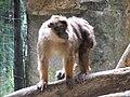 Beruk Mentawai Macaca pagensis.JPG