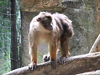 Macaca pagensis