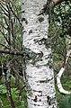 Betula celtiberica. Bidul.jpg