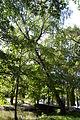 Betula pendula - City Park in Lučenec (2).jpg