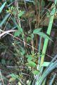 Bidens frondosa var. frondosa1 eF.jpg