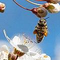 Biene mit Pollenhöschen Frankfurter Grüngürtel.jpg