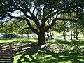 Big Oak, Dec '08 - panoramio.jpg