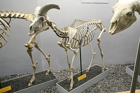 Bighorn Sheep (Ovis canadensis) skeleton.jpg