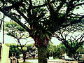 Bird's-nest ferns (Asplenium nidus) on a tree in the Cashew Road vicinity, Singapore - 20101112.jpg