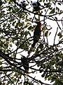 Bird Wreathed Hornbill Rufous-necked Hornbill IMG 4614 01.jpg