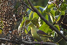 Birds Ashy Headed Green Pigeon.jpg