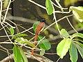 Birds from Ezhimala DSCN7029.jpg