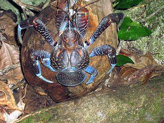 Coconut crab - A coconut crab atop a coconut