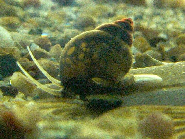 Bithynia tentaculata