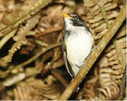 Black-and-white Tody-Flycatcher.jpg