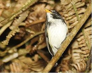 Black-and-white tody-flycatcher - Image: Black and white Tody Flycatcher
