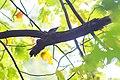 Black-and-white warbler (30108287182).jpg