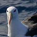 Black-browed Albatross (35773712933).jpg