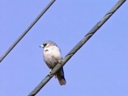 Bestand:Black-faced Woodswallow thargo95.ogv