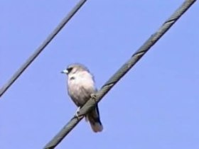 Tập tin:Black-faced Woodswallow thargo95.ogv
