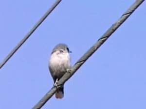 Fil:Black-faced Woodswallow thargo95.ogv