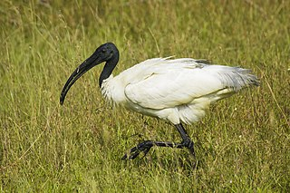 Ibis Long-legged wading birds with down-curved beaks