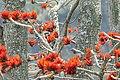 Black-throated Thrush, Nepal.jpg