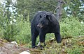 Black Bear (56968510).jpeg