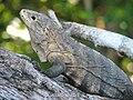 Black Ctenosaur, closeup, Costa Rica.jpg