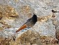 Black Redstart. Phoenicurus ochruros (40118464521).jpg