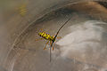 Black and Yellow Longhorn Beetle 000.JPG