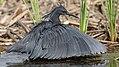 Black heron, Egretta ardesiaca, at Marievale Nature Reserve, Gauteng, South Africa. (28293690629).jpg
