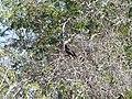 Black kite Boulia Wildlife Haven Herbert St Boulia Queensland P1030325.jpg